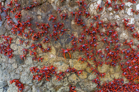 Red crabs marching down the wall