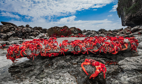 Red Crabs Rock