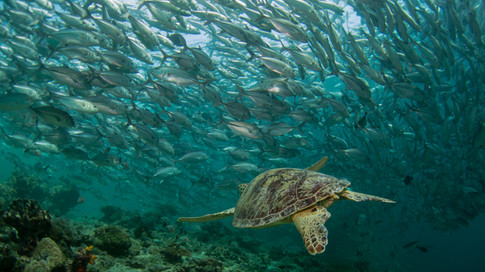 Turtle with Trevally School