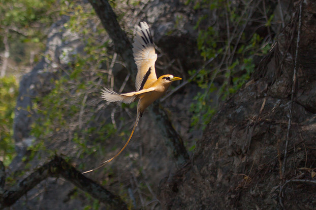 Golden Bosun