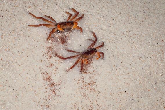 Jackson's Crabs spawning
