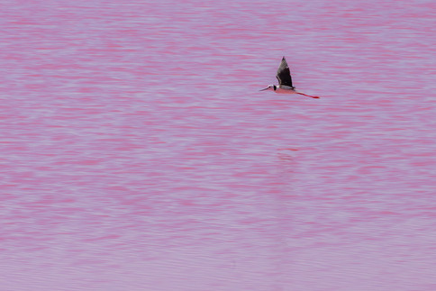 Bird flight over Pink Lake