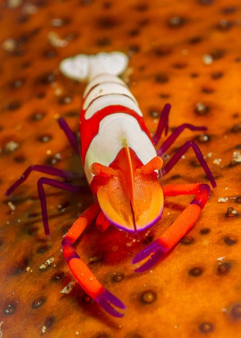 Imperial Shrimp