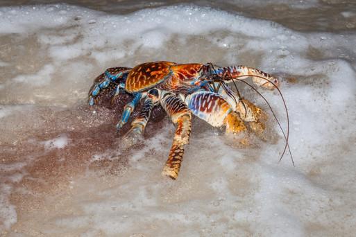 Robber Crab spawning