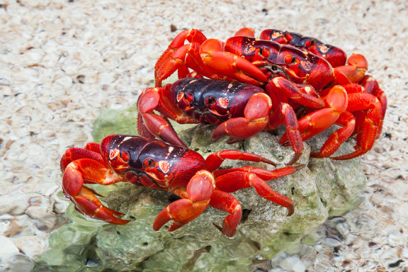 Four Red crabs on a rock
