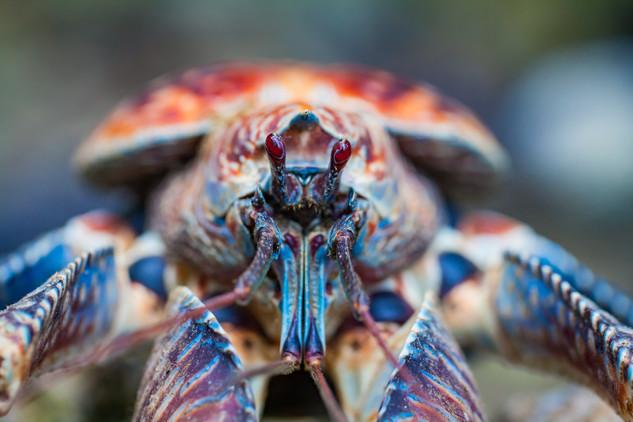 Robber Crab