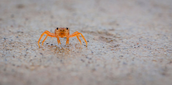 Red crab baby