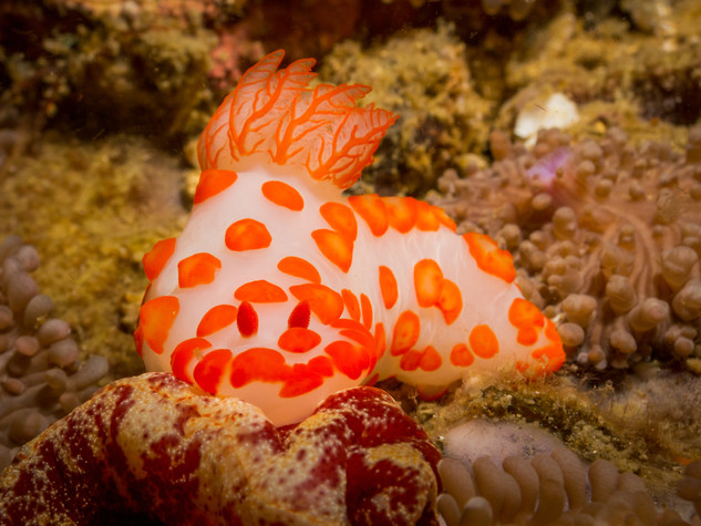 Nudibranch (Gymnodoris rubropapillosa)