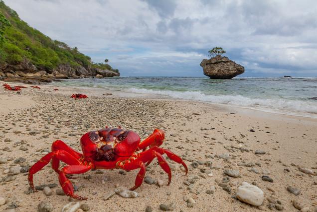 Red crab at Cove Rock