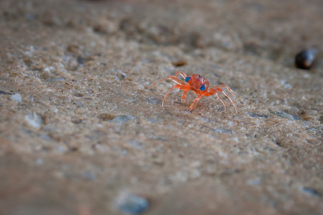 Blue-eyed baby Red crab