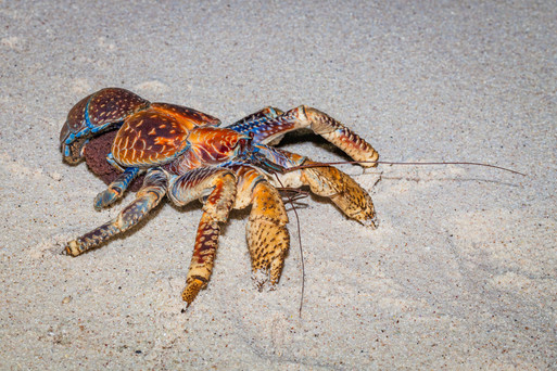 Robber Crab with eggs