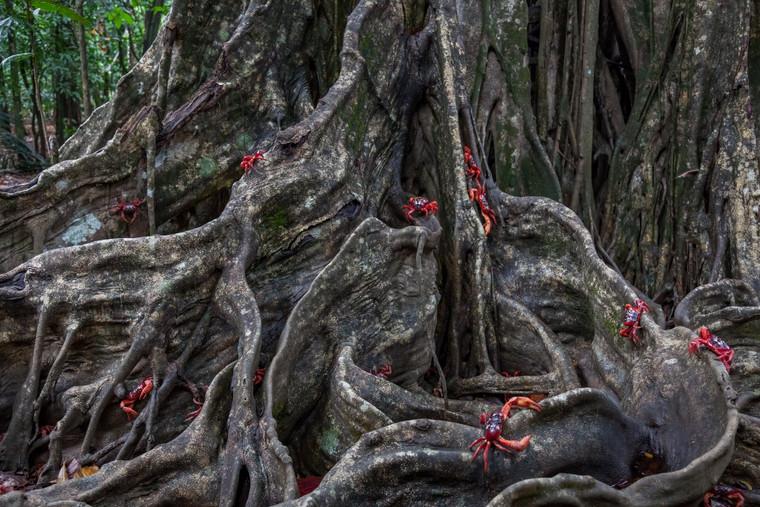 Red Crab Tree