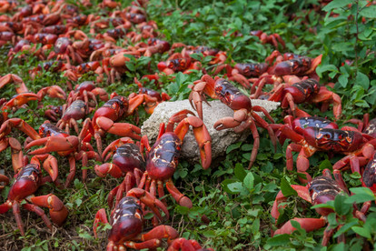 Red crabs marching to the ocean