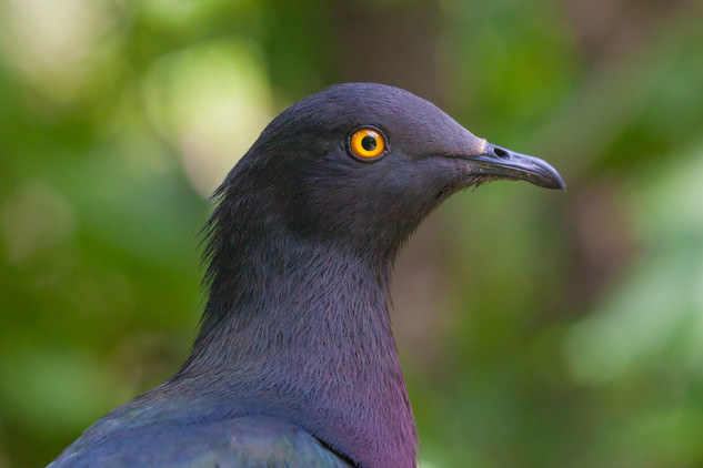 Christmas Island Imperial pigeon