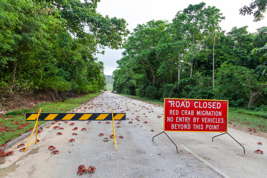 Red crabs crossing