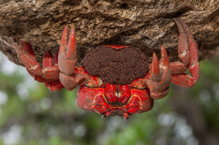 Upside down Female Red crab with eggs