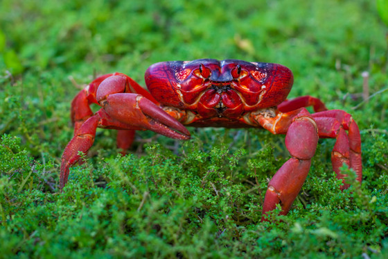 Adult Red crab