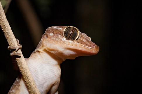 Christmas Island Giant Gecko