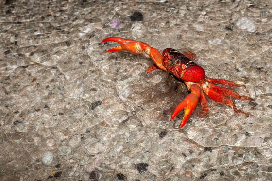 Red crab spawning