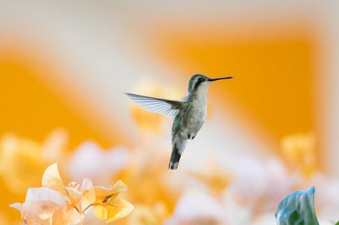 Blue-tailed Emerald Hummingbird