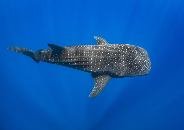 Whaleshark in the sunrays