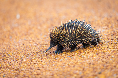 Echidna searching for ants