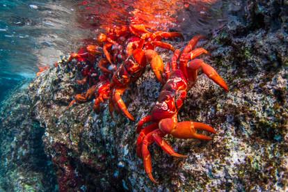 Red crabs under water
