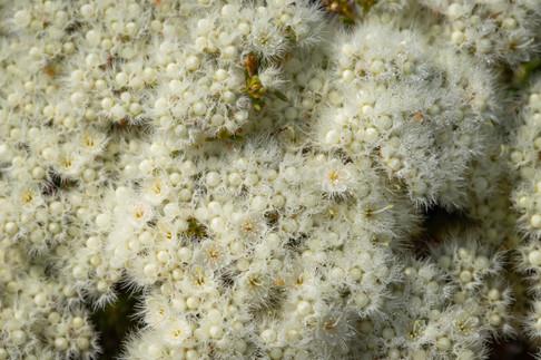 Common Cauliflower Close-up