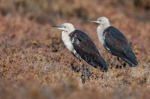 White-necked Herons