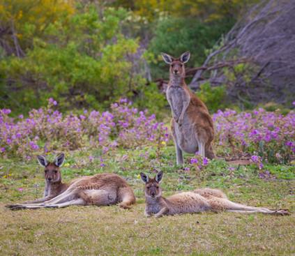 Kangaroos in the Wildflowers