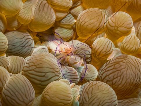 Bubble Coral Shrimp with eggs