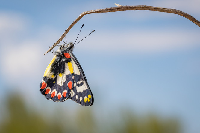 Red-spotted Jezebel or Wood White Butterfly