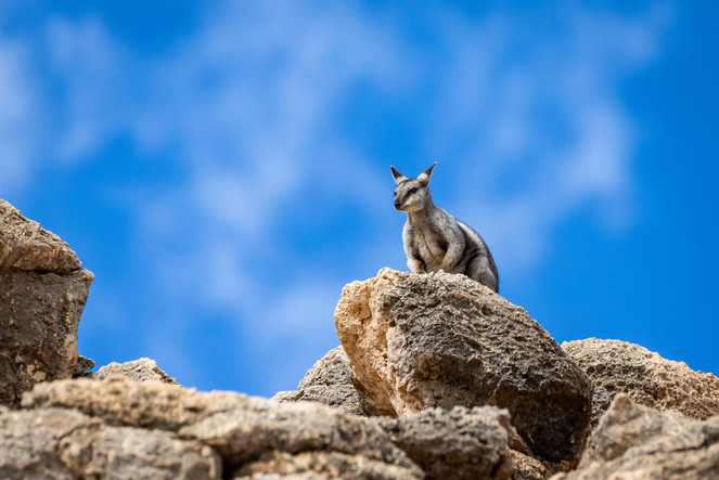 Black-flanked Rock-wallaby High Up