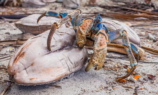 Robber Crab aka Coconut Crab