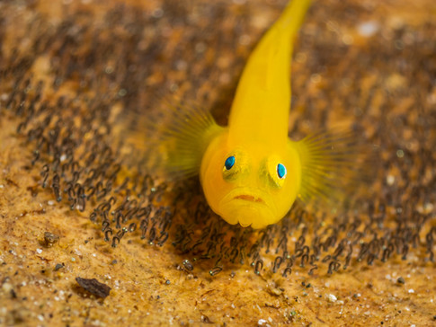 Golden Goby with eggs