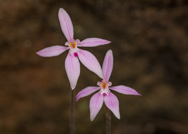 Pale Pink Fairy Orchid
