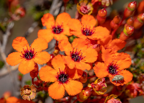 Coppercups Close-Up