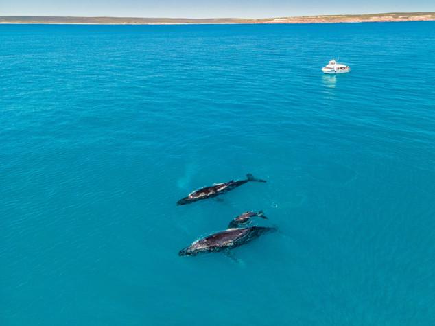 Whale Watching Kalbarri