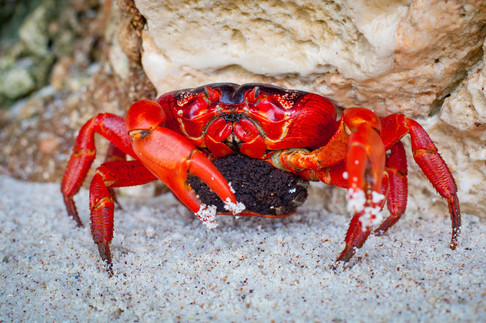Female Red crab with eggs