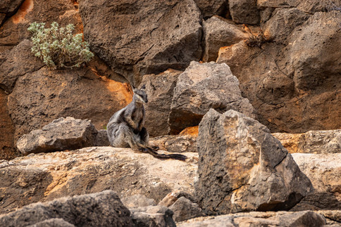 Black-flanked Rock-wallaby camouflage
