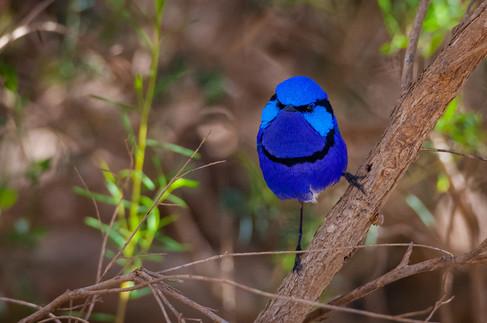 Splendid Fairy-wren male