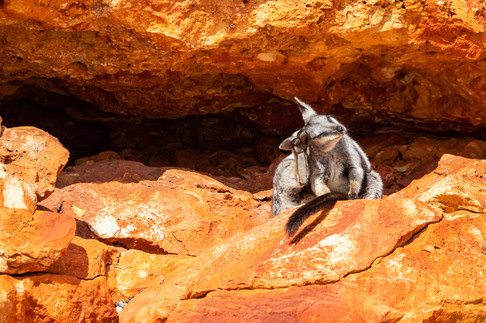 Black-flanked Rock-wallaby scratching