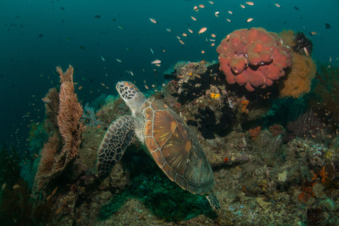 Turtle in a coral garden