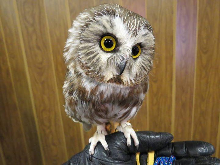 Sawyer-Saw-Whet-Owl.jpg