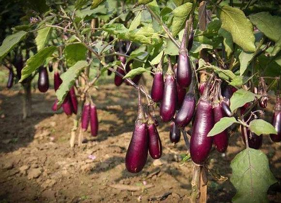 Eggplant, Shiva