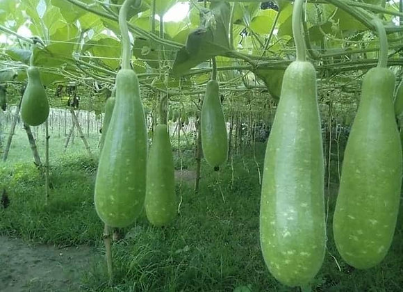 Bottle Gourd, Monsoon