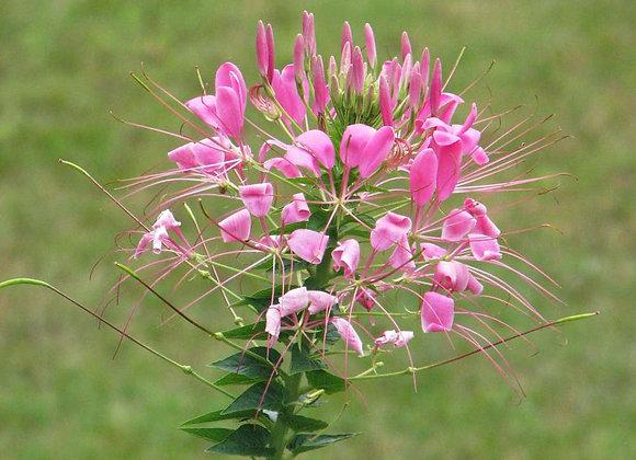 Cleome, Spider Flower