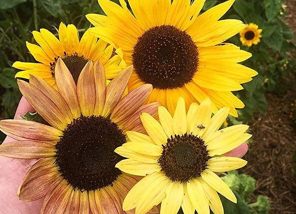 Sunflower, Fantazja