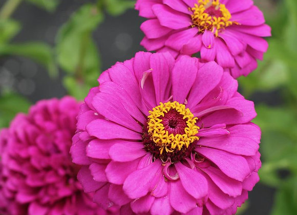 Zinnia, Giant Violet Queen