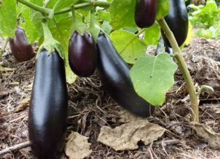 Eggplant, Astrakom